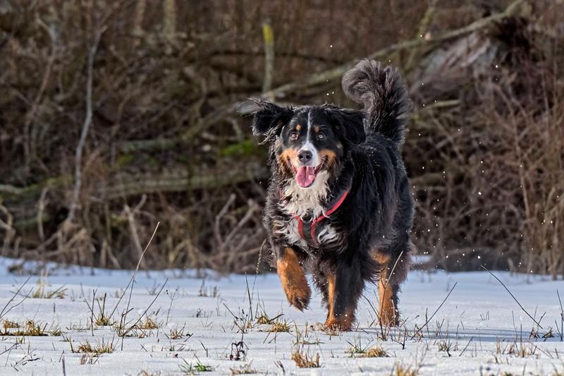 Berner Sennenhunde sind sanfte Riesen.