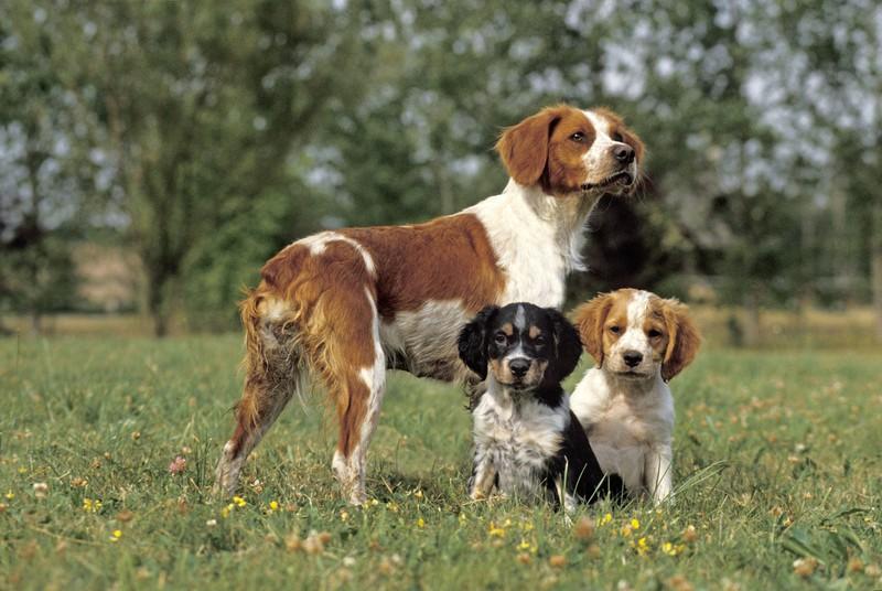 Der Breton zählt zu den intelligenten Jagdhunden.