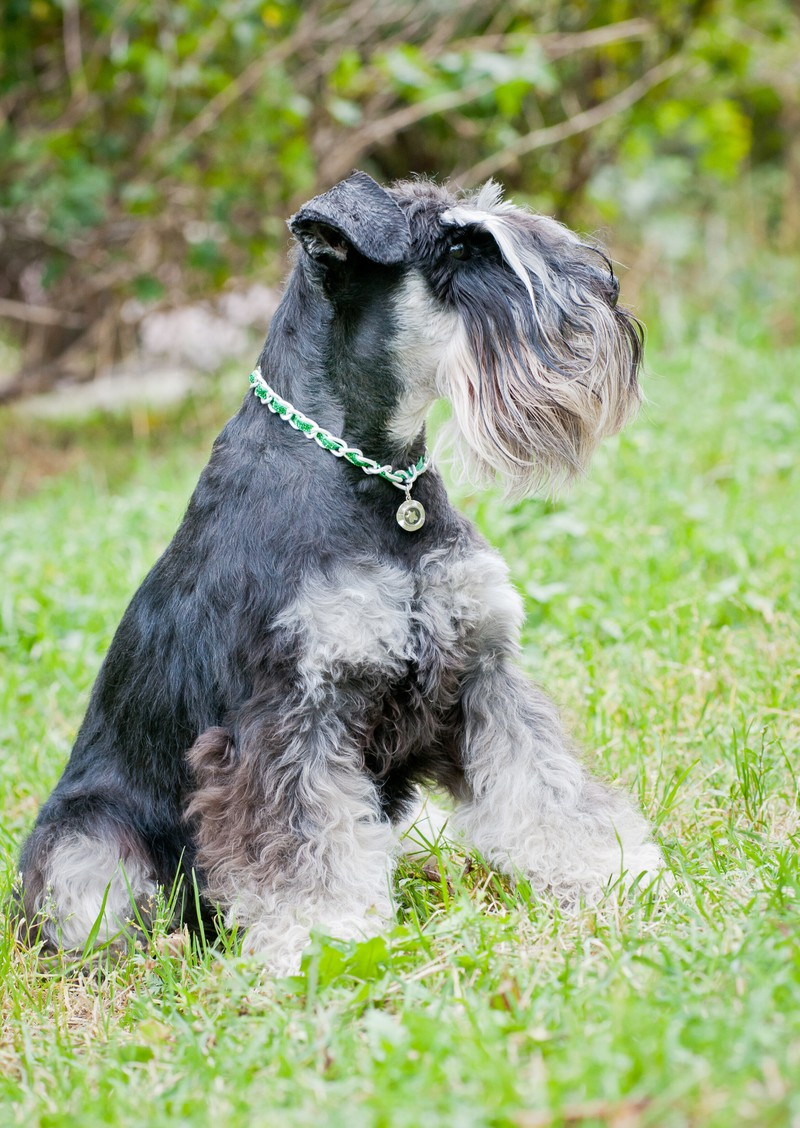 Der Zwergschnauzer ist ein besonders wachsamer Hund.
