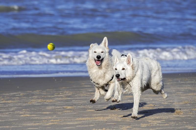 Die 10 intelligentesten Hunderassen: Weiße Schäferhunde spielen am Strand