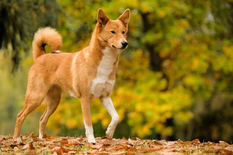 Ein Canaan Dog läuft durch Laub. Er gilt als besonders kluger Hund