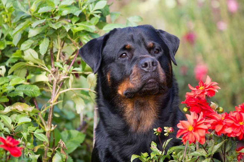 Ein cleverer Rottweiler sitzt im Garten zwsichen Blumen und Sträuchern