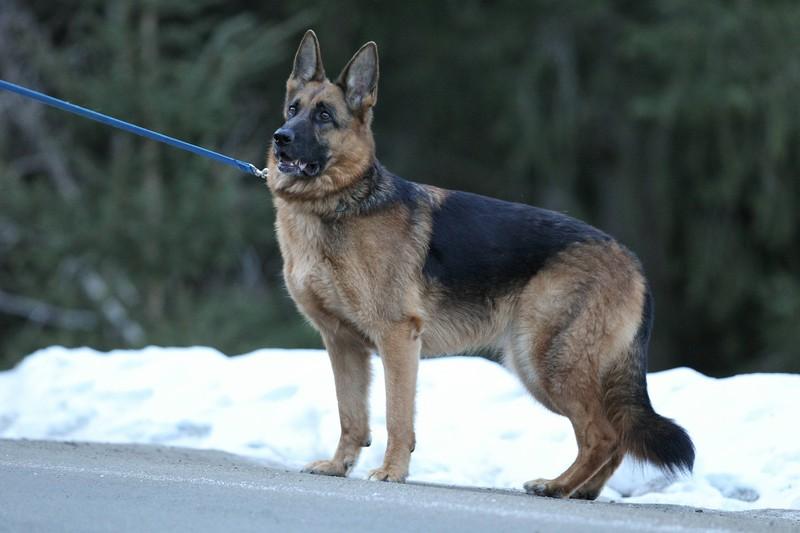Ein Deutscher Schäferhund steht im Schnee an seiner Leine. Er gilt als intelligenter und eigensinniger Hund.