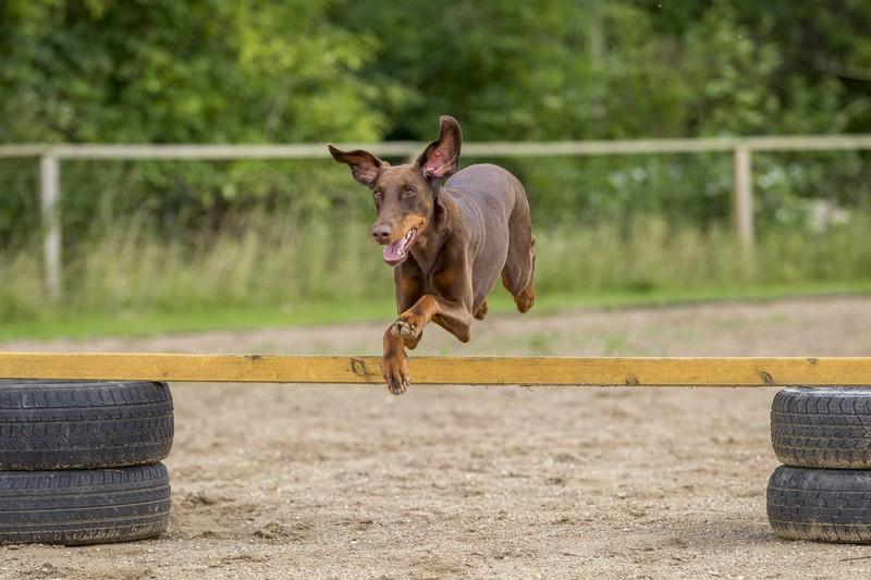 Ein Dobermann springt über ein Hindernis beim Parcours. Die Hundeart gilt als sehr schlau.