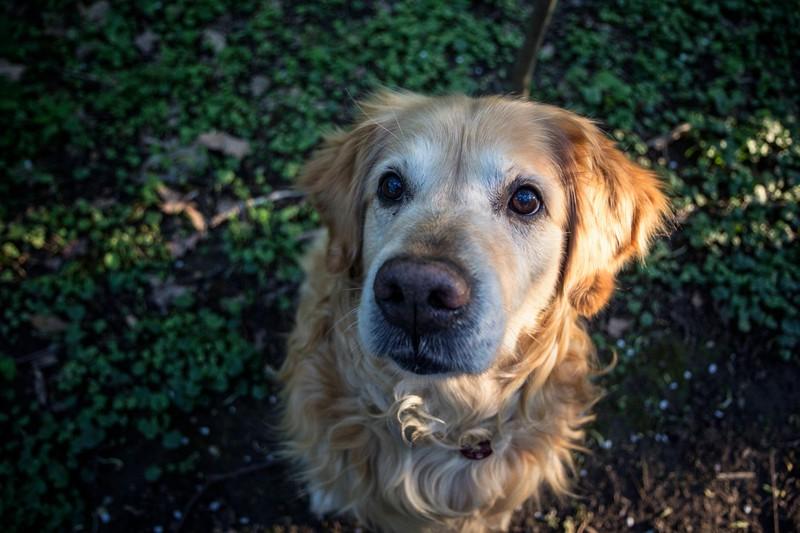Ein Golden Retriever sitzt im Grünen und schaut in die Kamera: Die Hunderasse ist besonders beliebt, weil sie so klug ist
