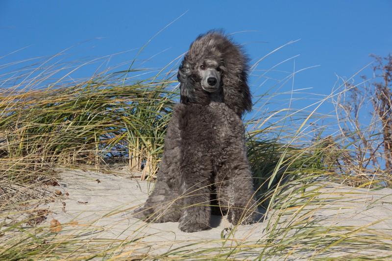 Ein schwarzer Pudel steht auf einer Düne: Die schlaue Hunderasse wird auch als Blindenführhund eingesetzt