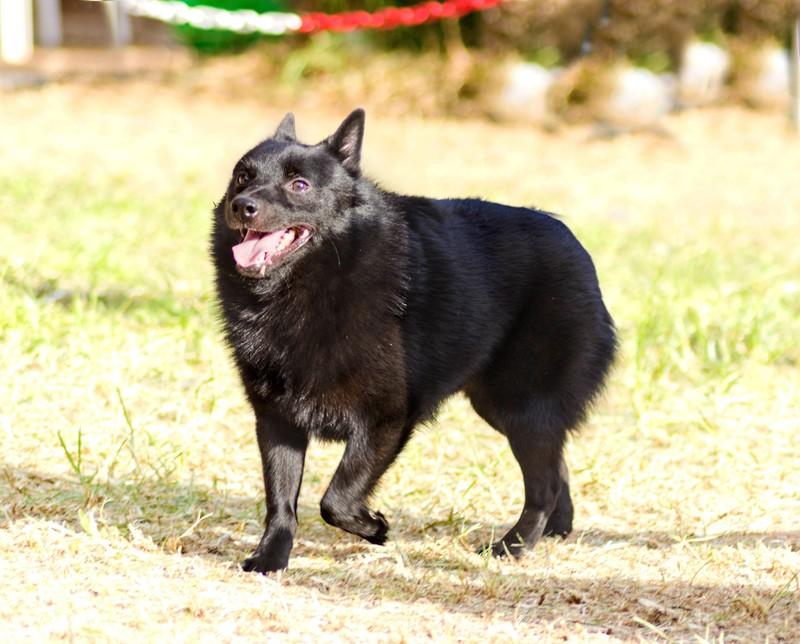 Schipperkes gehören zu den belgischen Hunderassen.