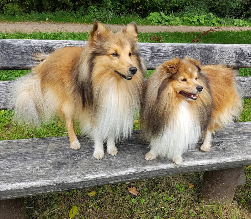 Zwei Hunde, die zu der intelligenten Hunderasse Shetland Sheepdo gehören, posieren auf einer Holzbank