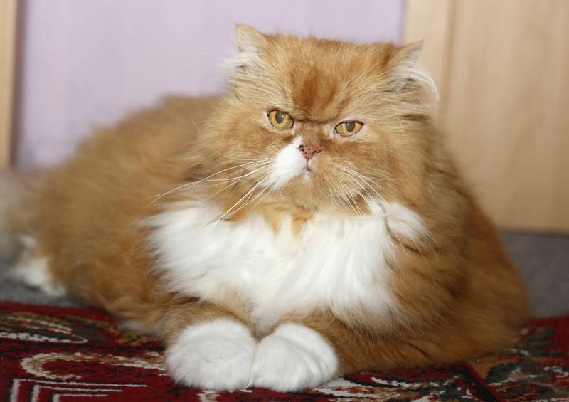 EIne Katze wird dick: Anzeichen, das sie vielleicht krank ist