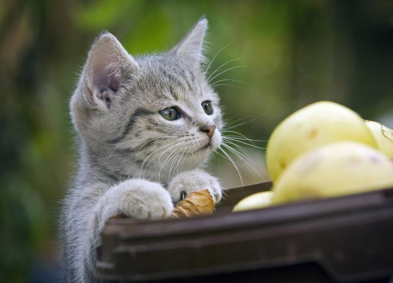 Eine Babykatze beobachtet rohe Kartoffeln, die für sie jedoch giftig sind