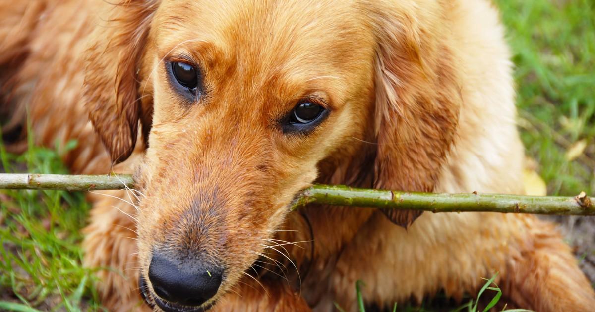 Dein Hund knabbert alles an? Das könnte dahinter stecken: