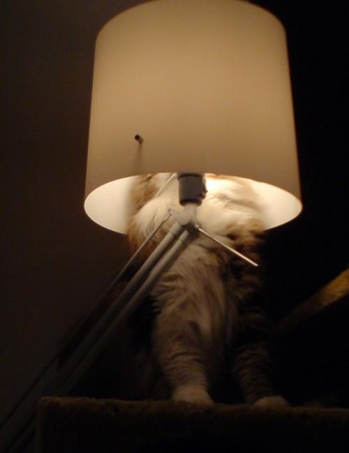 Ein Foto von einer Katze, die sich unter dem Lampenschirm versteckt