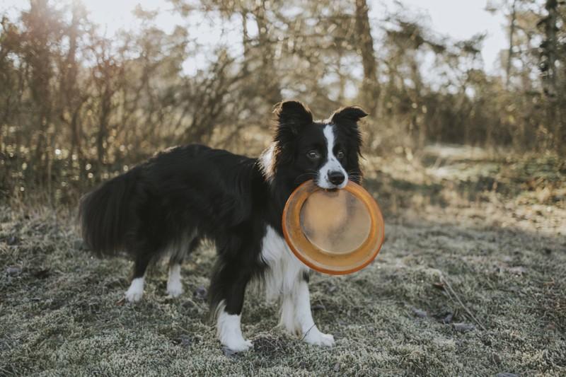 Ein Border Collie gehört zu den Hunderassen, die am meisten Auslauf brauchen.