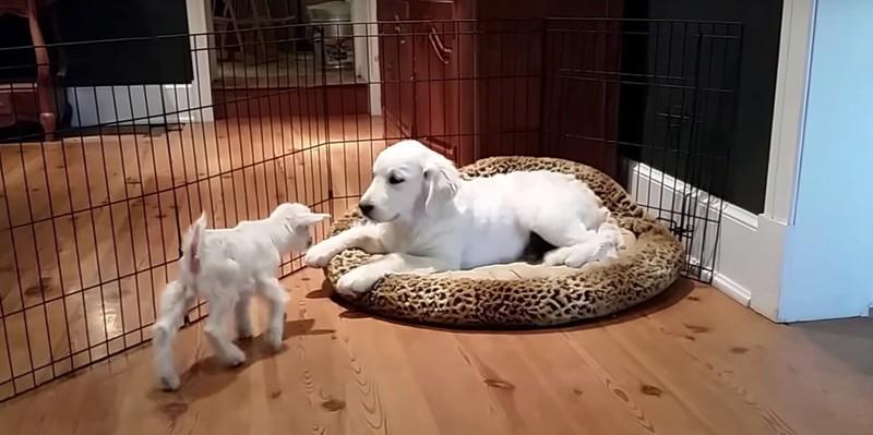 Als der Welpe zum ersten Mal auf die Babyziege trifft, ist er erstmal sehr vorsichtig.