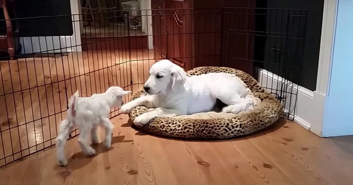 Richtig süß: Eine Babyziege und ein Hundewelpe treffen sich