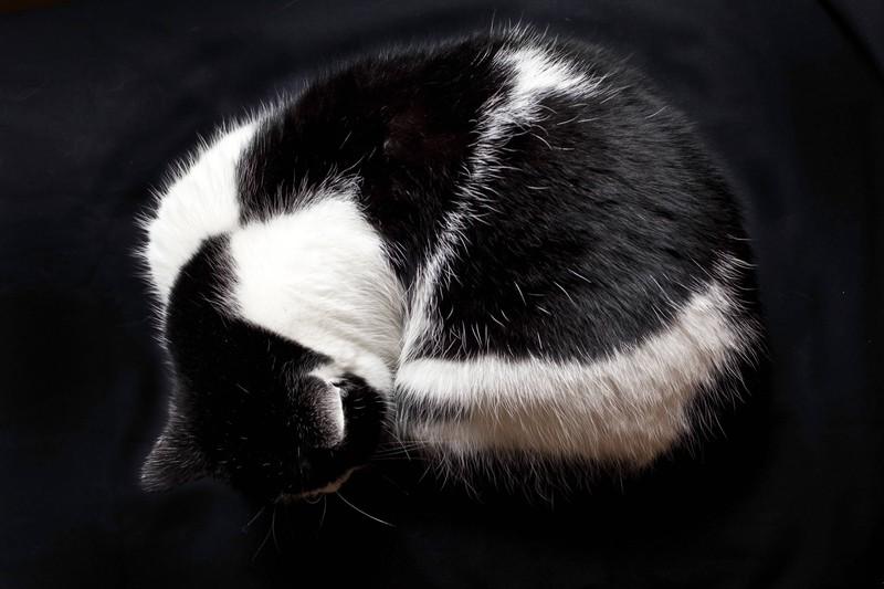 Katze Narnia hat ein zweifarbiges Fell.