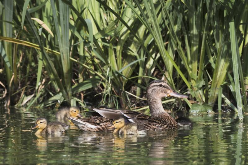Die Entenmama mit ihren kleinen Babys zieht im See ihre Kreise.