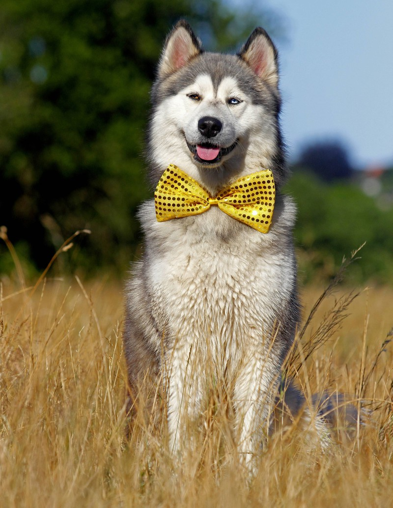 Ein Hund trägt eine Fliege, damit er schneller adoptiert wird.