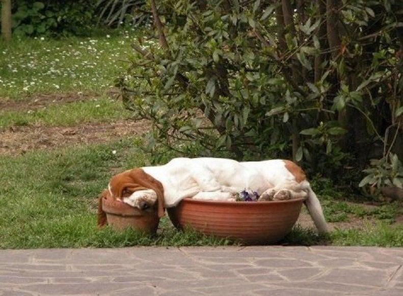 Ein Hund schläft auf zwei Blumentöpfen.