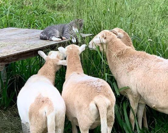 Eine Katze wird von einigen Schafen beäugt.
