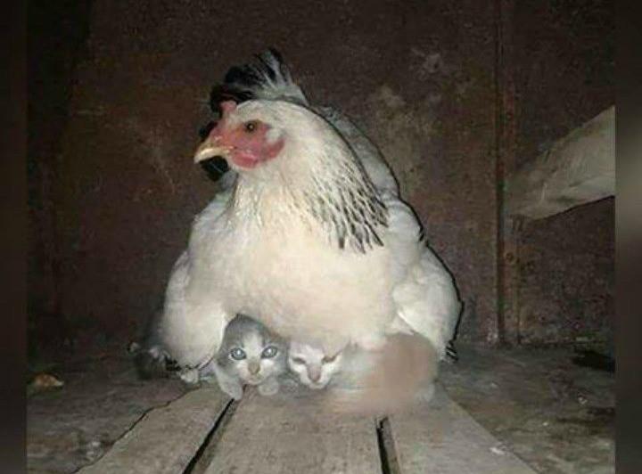 Eine unerwartete Freundschaft spielt sich zwischen einem Huhn und zwei Kitten ab.