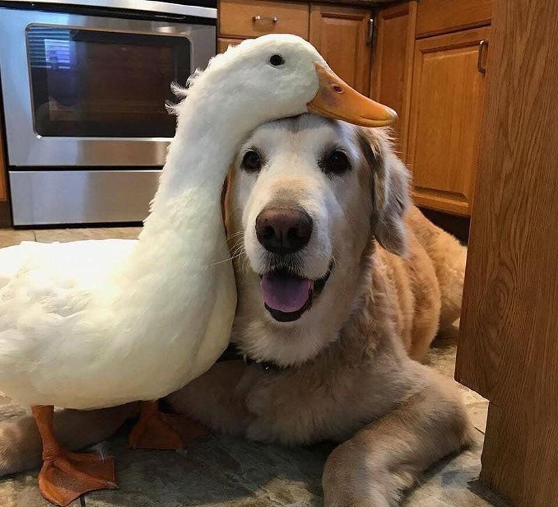 Scheinbar lieben Enten es, mit Hunden befreundet zu sein und abzuhängen.