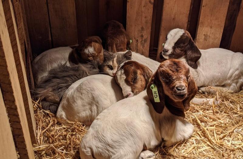 Ziegen schlafen mit einem Kitten im Stall.