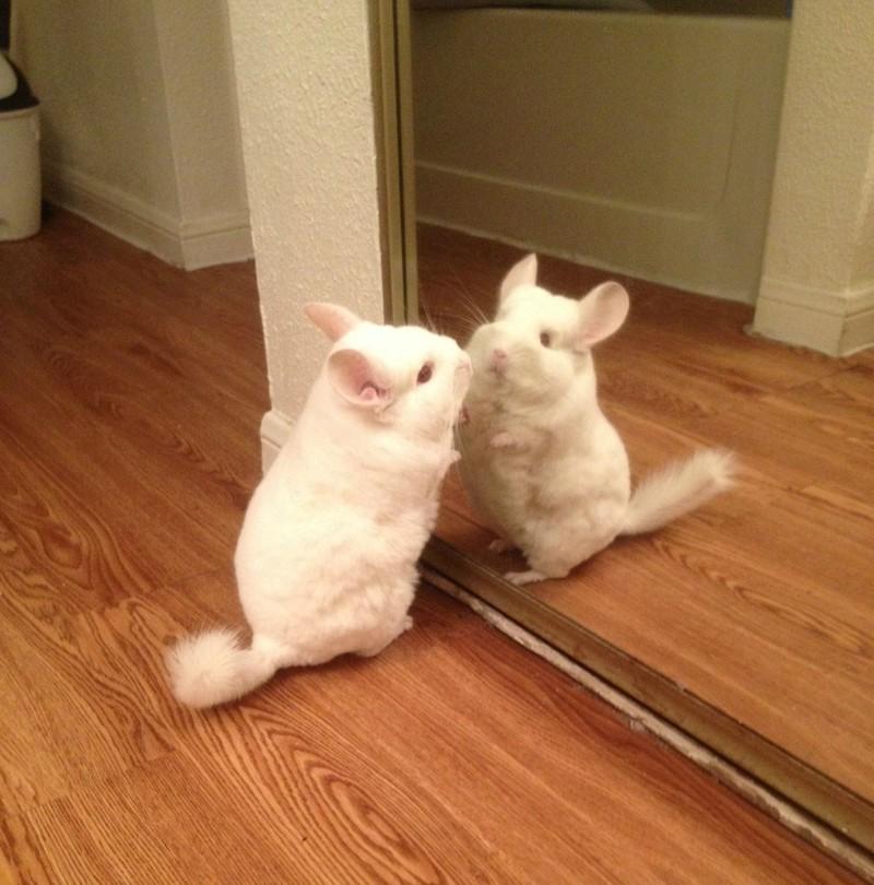 Das Chinchilla beobachtet sich selbst im Spiegel.