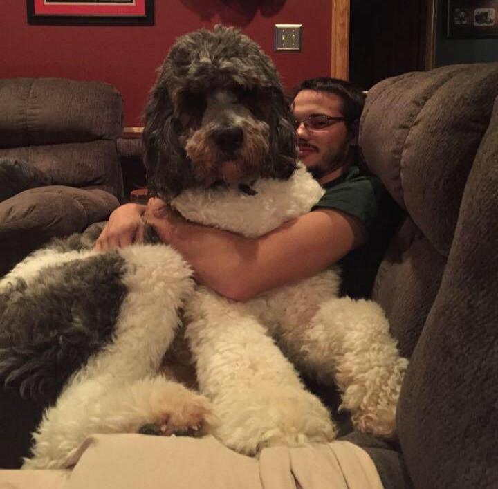 Ein riesiger Hund kuschelt sich auf den Schoß seine Besitzers.