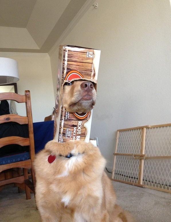 Ein Hund bleibt in einer Box stecken, weil er scheinbar etwas orientierungslos ist.