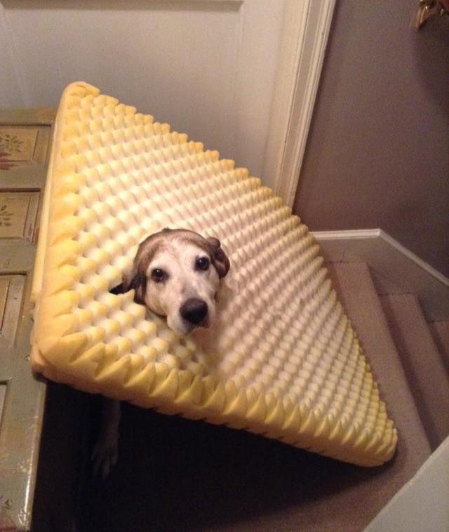 Ein Hund hat sich durch sein Bett gefressen und ist darin steckengeblieben.