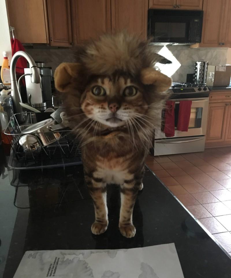 Eine Katze trägt eine Löwenmähne und sieht dabei zuckersüß aus.