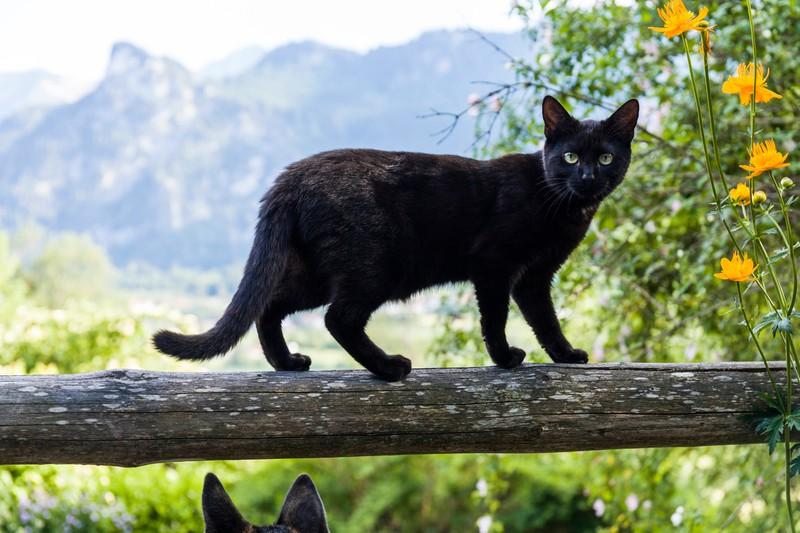 Die schwarze Straßenkatze sucht ein Zuhause und einen sicheren Platz für die Geburt.