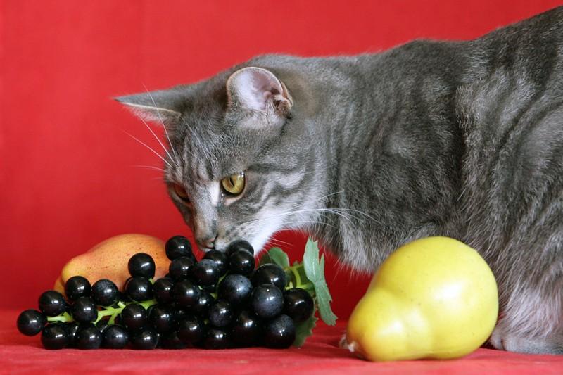 Katze schnuppert an Trauben, aber die sind schlecht für sie