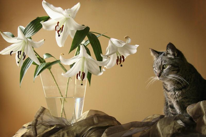 Lilien können für Katzen lebensgefährlich sein