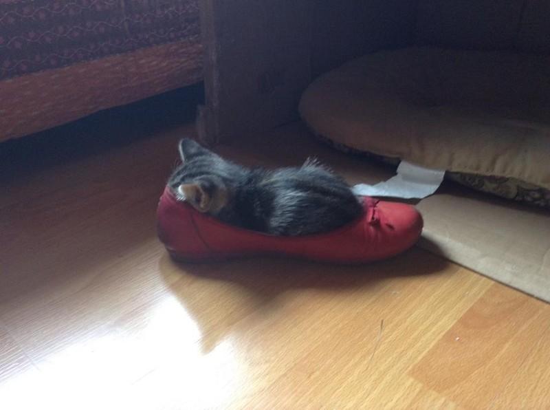 Die kleine Katze schläft im Schuh.