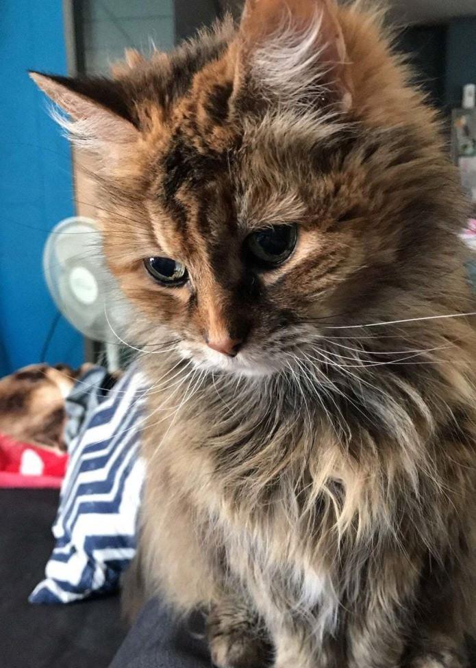 Süße Katze, die schon alt ist