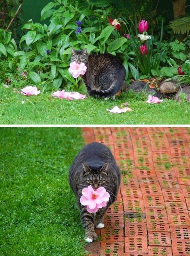 Die trächtige Katze hält eine Blume.
