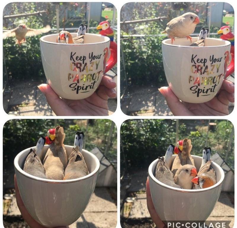 Zebrafinken versammeln sich in einer Tasse