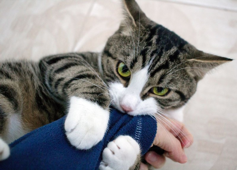 Die Katze nuckelt beim Schmusen.