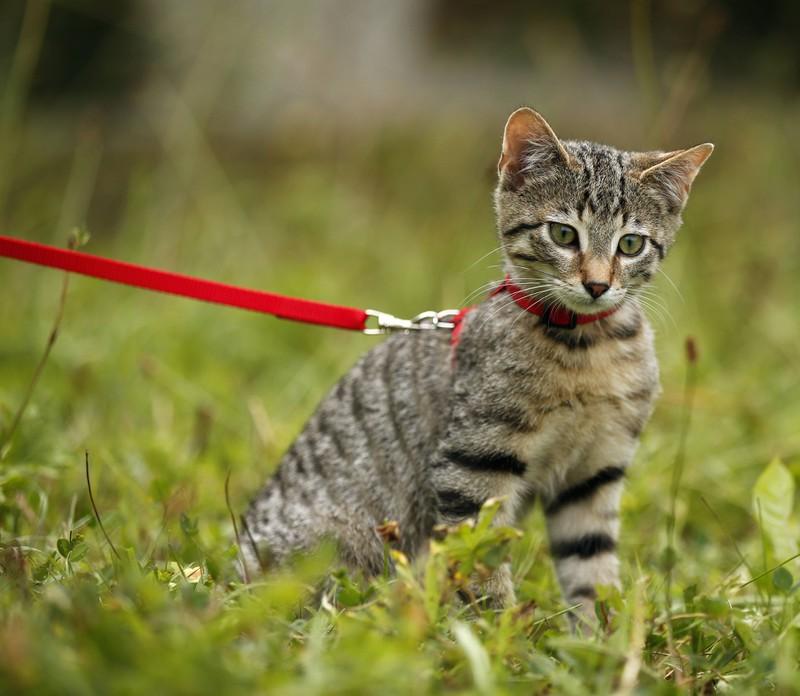 Du kannst deine Katze auch erstmal an Draußen mit einer Leine gewöhnen.
