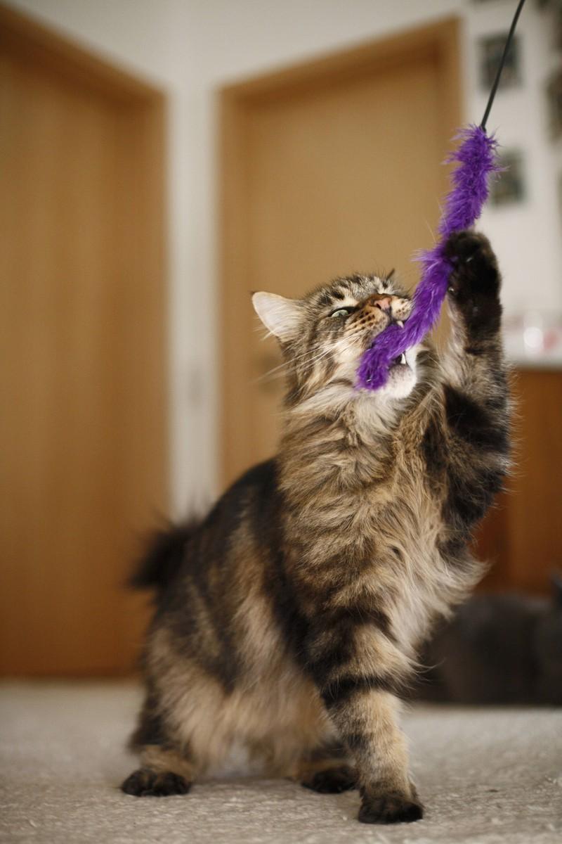 Das richtige Spielzeug bringt selbst faule Katzen zum Spielen