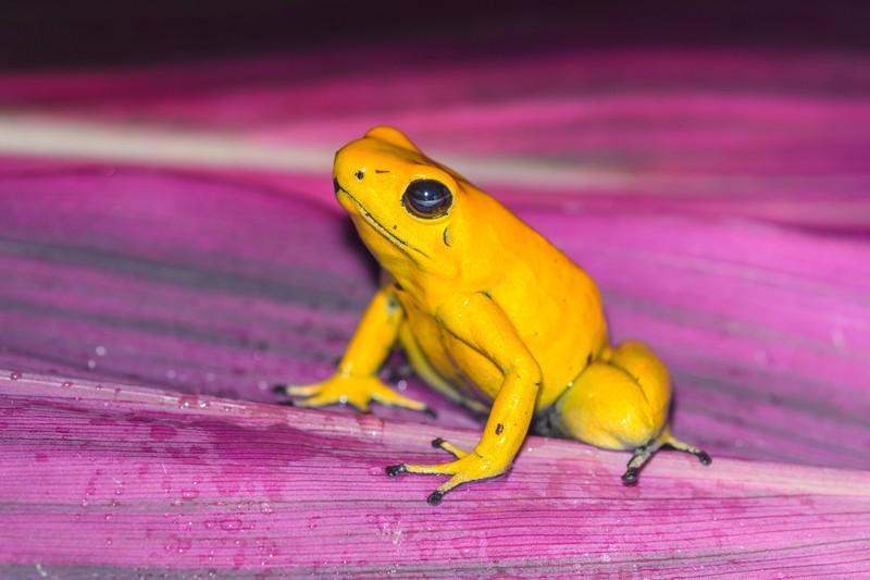 Ein goldener Pfeilgiftfrosch sitzt auf einer Pflanze.