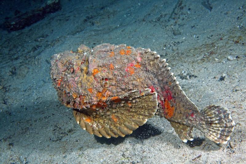 Ein Steinfisch schwimmt über den Meeresgrund