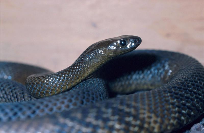 Eine Inlandtaipan-Schlange reckt ihren Kopf.