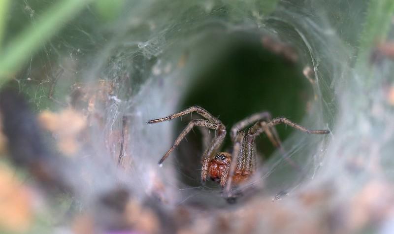 Eine Sydney-Trichternetzspinne sitzt innerhalb ihres Netzes.